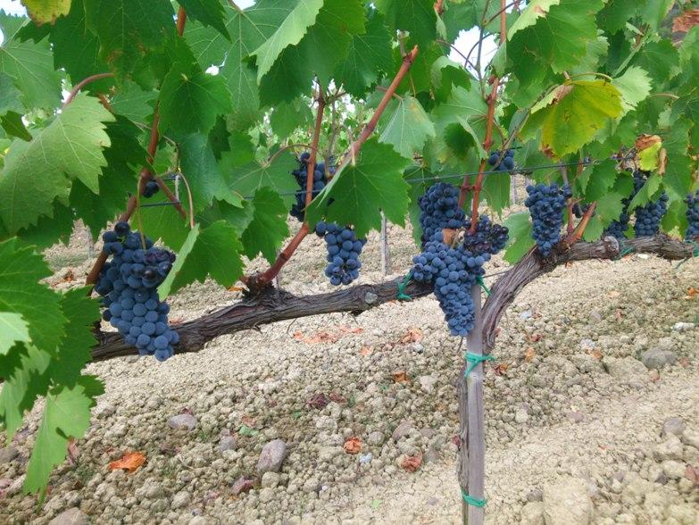הכרת זני הענבים